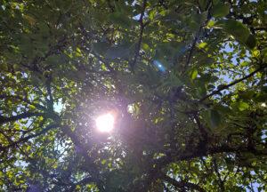 sol som lyser genom träd
