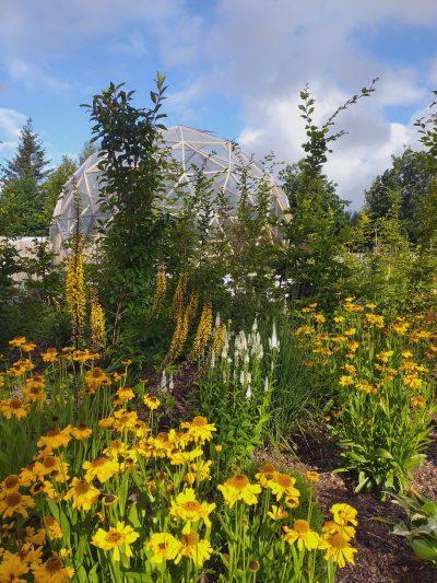 gula blommor i solar pelexusrummet i chakraträdgården