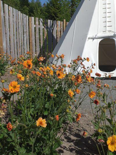 orange blommor och ett tipi tält